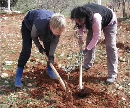 hansa planting olives